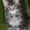 Продам  кошачью элиту-отличных мейн-кунят