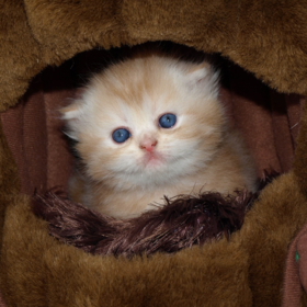 Где купить котенка и какую породу выбрать