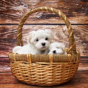 Купить щенка – расставляем приоритеты